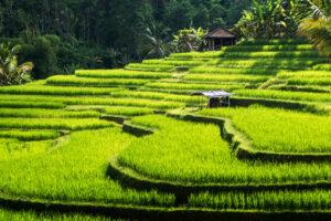 Die Jatiluwih Reisterasse auf Bali