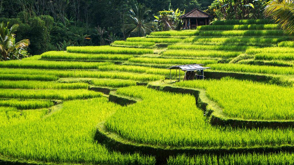 Bali Reisterrassen
