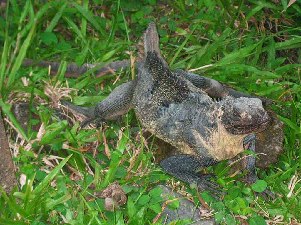 Bali Reptilienpark - Leguan