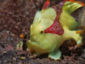 Juvenile Froschfisch beim Liberty Wrack