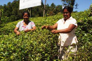 Teeplantagen in Ceylon