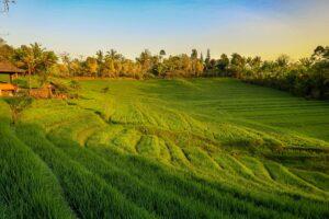 Belimbing Reisterrasse auf Bali