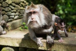 Der Monkey Forest in Ubud