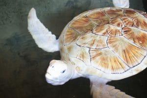Schildkröten in Tangalle