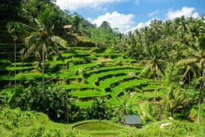 Die Tegallalang Reisterasse auf Bali