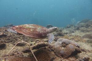 Wasserschildkröte beim tauchen im Batu Nanas Gebiet in Bali